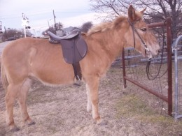 This isn't such a great shot of Rojo, but it shows off the tack well. Incidentally, Rojo's mane is about 3X longer than it was when I got him. I think those big mules he was living with were chewing his mane off!