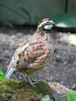 The quail in North America is represented by species such as the northern Bobwhite.