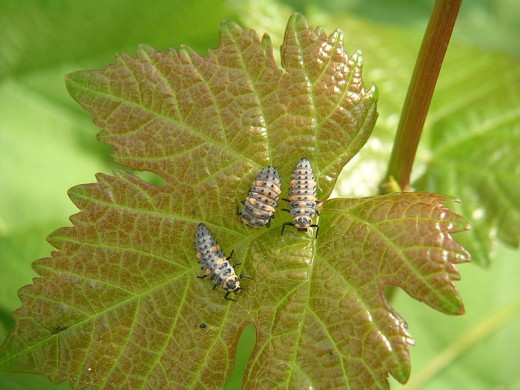 Biological control using ladybird larvae.