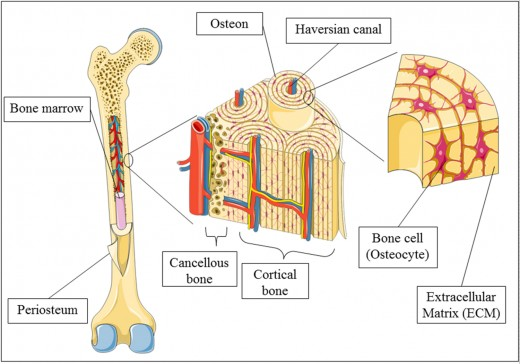Bone Tissue Layers