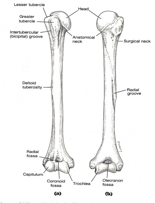 Humerus arm bone