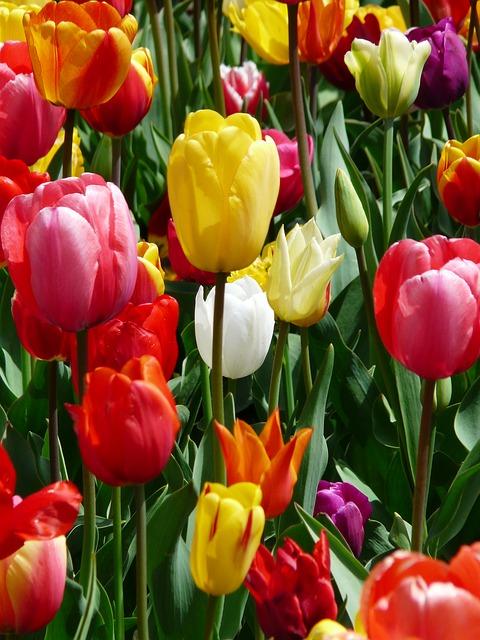 Tulip Yellow Yellow Tumor Tulips Tulpenbluete