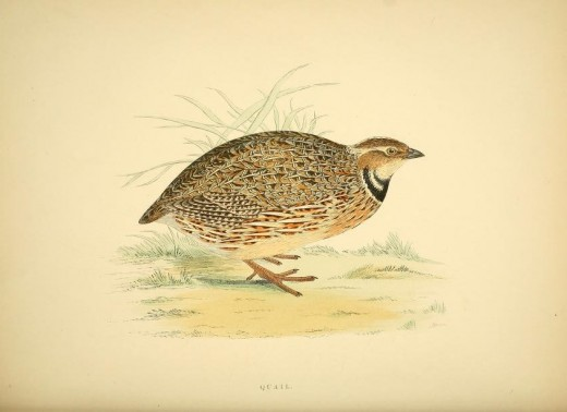 British Game Birds