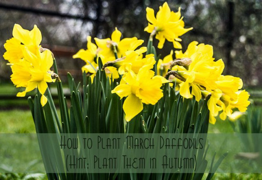 How to Plant March Daffodils