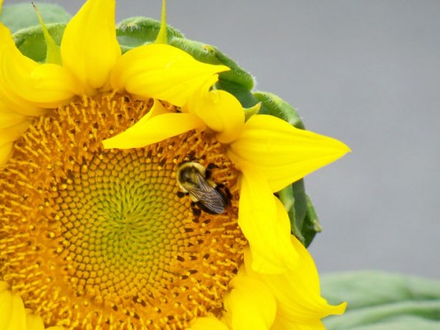A flower with a bee in the center.