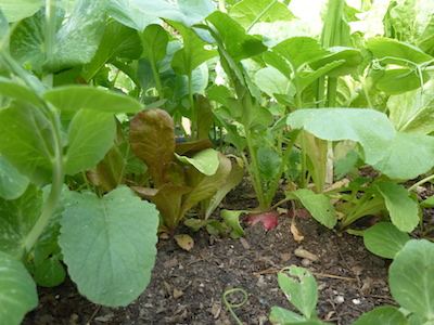 Continue to thin mesclun and harvest radishes while the season is cool. An unexpected heat waves will cause lettuces to bolt.