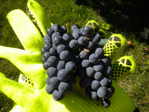 The First Week in October Has Been a Great Time to Pick Norton Grapes.