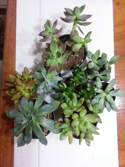 Gathering of Succulents