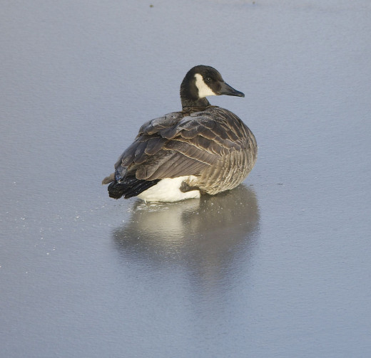 Canada Goose Lying on Icy Boomer Lake