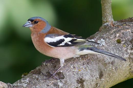 Male: Common Chaffinch (Fringilla coelebs).  Deutsch: Buchfink English: Chaffinch