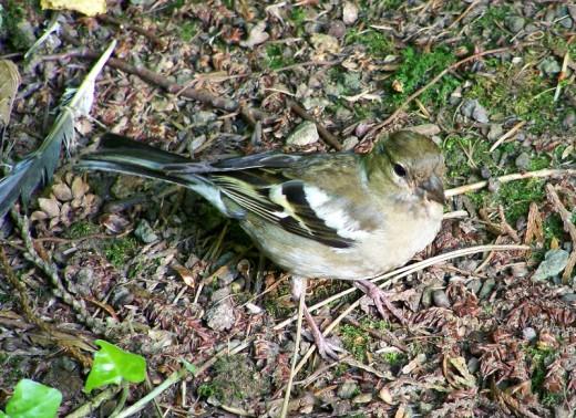 English: Immature plumage of common chaffinch (Fringilla coelebs).