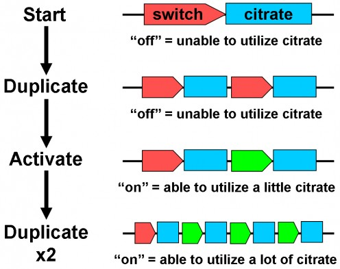 Simplified view of how E. coli evolved the ability to utilize citrate substrate over 40,000 generations (20 years) in Blount et al., 2012. Inactive citrate fermentation genes were duplicated, switched on, and duplicated again.
