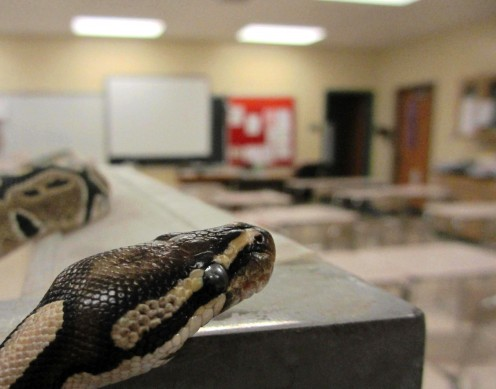 A Ball Python (Python regius) looks on at an empty Science classroom.  This is what people like Ken Ham truly desire: the abandonment of Science (asking questions) in favor of Religion (providing answers that ought not to be questioned).