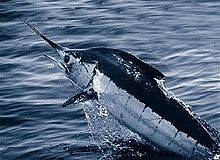 The Blue Marlin is a worthy adversary that can be found on an offshore adventure.