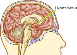 Physiological Considerations Of The Hypothalamus And Pituitary Gland In The Endocrine System