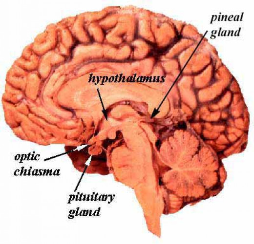 Blood supply to the hypothalamus and pituitary is derived from the superior and inferior hypophyseal arteries which are branches of the internal carotid artery.