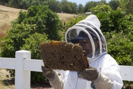 A honeybee colony being examined by professional beekeeper.