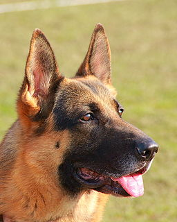 Buddy is a German Shepherd like this one.