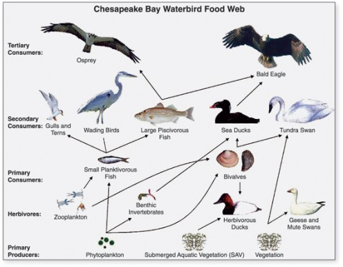 Diagram of a food web for waterbirds of the Chesapeake Bay.