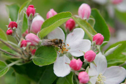 Apple blossom: the oils of some plants are bound to an enzyme that causes them to oxidize at the moment of extraction