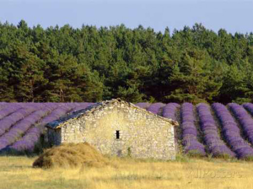 Lavender growing in the Haute Provence of France