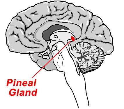 Though the exact functional significance of this gland in humans is not clear, it is likely that its secretion exerts inhibitory effects on gonadal and thyroid functions and also modulates behaviour.