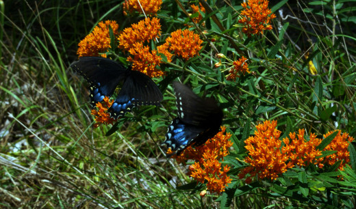 Butterfly Weed, true to its name attracts butterflies.