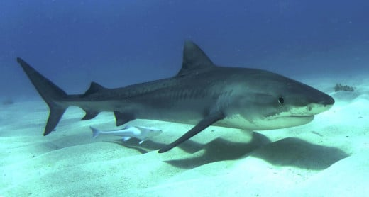 Was a tiger shark caught in Brighton in 1785?