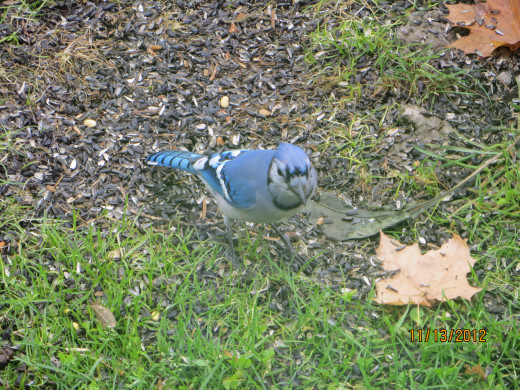 This bluejay hung around into the colder weather picking his seeds off the ground.