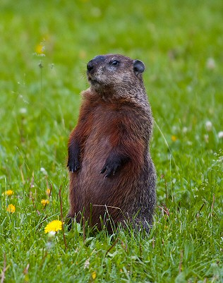 I am a groundhog, not a gopher!