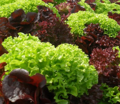 Planting Lettuce for a Sustainable Harvest