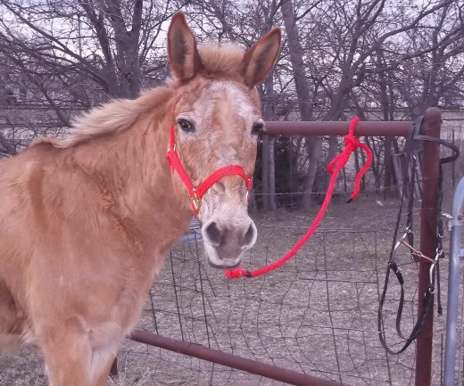 Here is Rojo wearing his new red halter and lead rope.