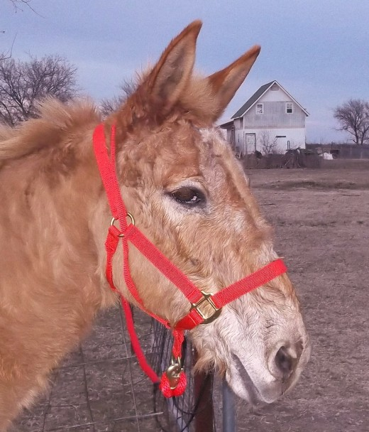 Rojo's new halter has an extra loop that attaches to the lead rope and goes over the head to encourage him to come along.