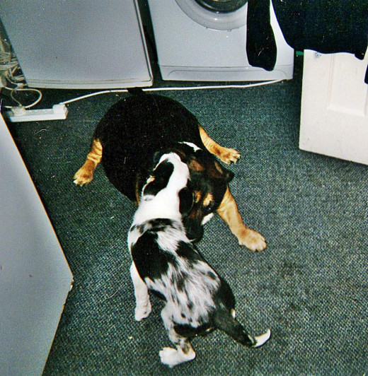 Blue as a puppy, playing with my old rescue dog, Buster, a Rottweiler cross. Buster was very patient and let Blue clamber all over him.