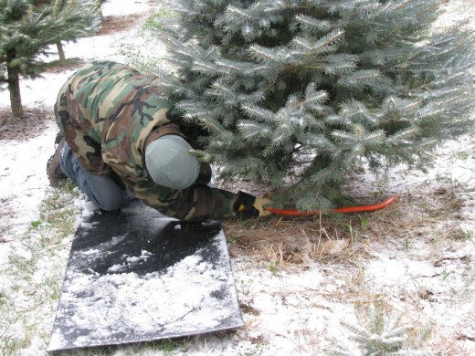 What about cutting down your own Christmas tree?
