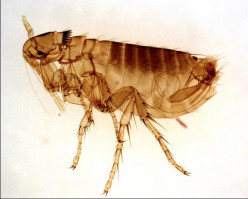 Easy 3 Step Guide For Getting Rid Of Fleas In Your House