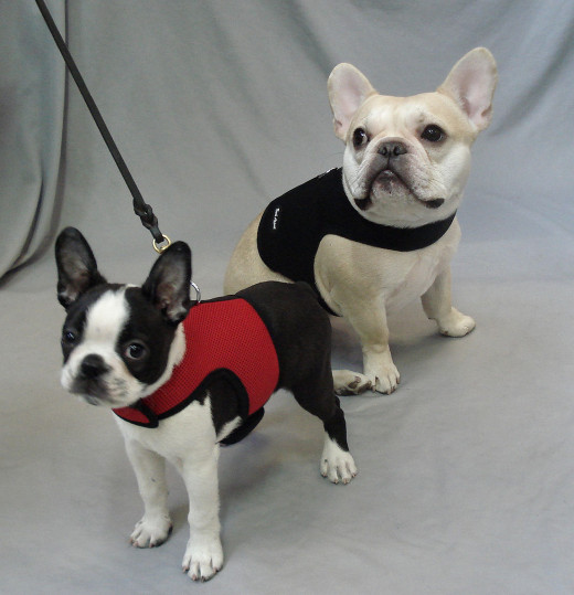 Booker (Boston Terrier) and Teddy (French Bulldog) in the Wrap-n-Go Harness.