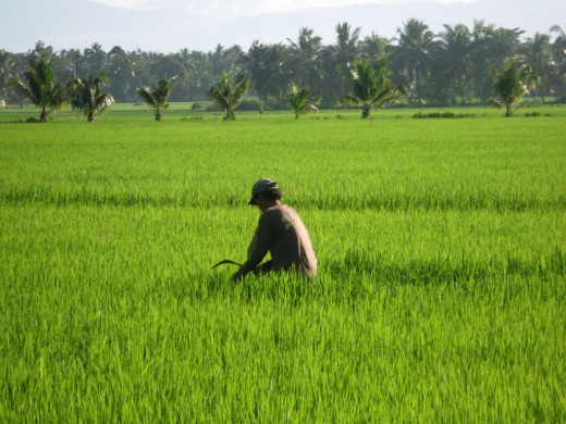 A farmer tending the rice field off weeds.