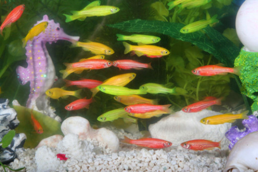genetically modified florescent fish