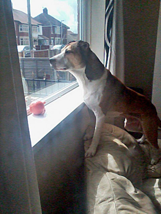 Happy Buster looking out of the lounge window, his favourite toy nearby. But once he had 'escaped' to freedom, I knew he would be scared.