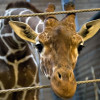Society eats 'Marius' the Giraffe Daily