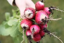 radishes are easy and quick to grow. A good choice for a child's garden.