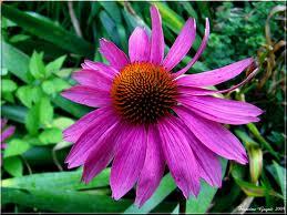 Purple coneflower or echinacea flower.