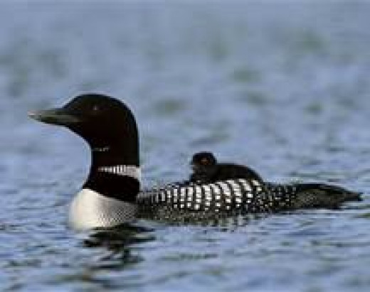 Common Loon with Baby on Back