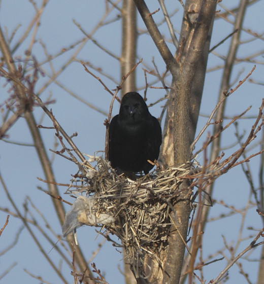 Red-winged Blackbird Chooses Nest