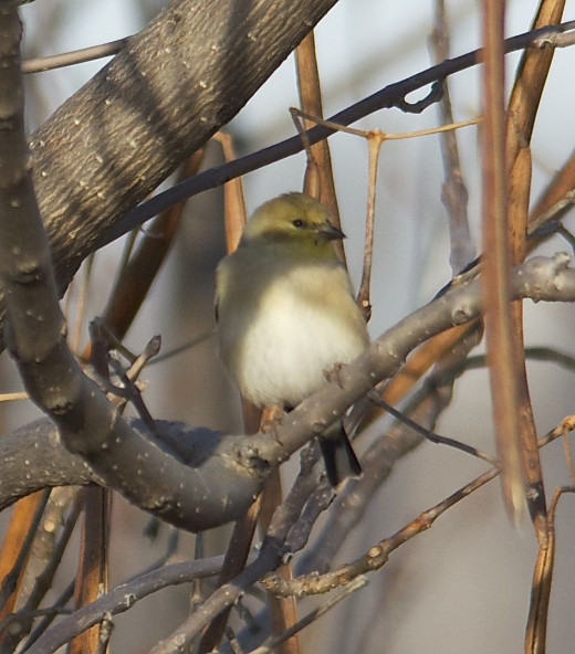 American Goldfinch, Non-Breeding Plumage