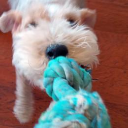 Duke playing tug-of-war.