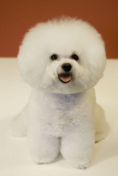 Bichon frise are one of the many breeds at risk for canine atopy