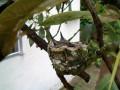 Up On The Avocado Tree: Spotting A Hummingbird's Nest