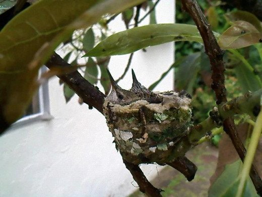 Baby hummingbirds.